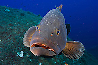 Dusky Grouper (Epinephelus marginatus) - 'endangered' in IUCN Red List - with several fish lice (parasitic copepods) on its head<br /> France: Corsica, Lavezzi Islands, 'Merouville' ('Grouper City')