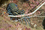 Anilao, Philippines; a Painted Rock Lobster (Panulirus versicolor) under a ledge on the rocky, coral reef at night