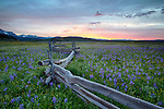 Idaho, South central, SNRA, Stanley.  Camas Lilies and log fence in late spring in the Sawtooth National Recreation Area.