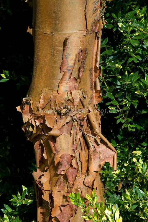 Peeling tree bark of Paperbark Maple Acer griseum