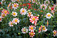 Dahlia 'Asahi Chohje' (AGM) (Anemone type) with lots of red and white cheerful striped flowers, summer and autumn blooming perennial plant