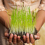 Hands cupping wheatgrass sprouts represent HARMONY BETWEEN HUMANS AND THE ENVIRONMENT, one of the Balinese principals of Tri Hita Karana that guided development of a new heling center.