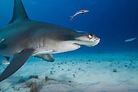 RR1809-D. Great Hammerhead Shark (Sphyrna mokarran), swimming low over sandy bottom, followed by sharksucker fish (Echeneis naucrates). Bahamas, Atlantic Ocean.<br /> Photo Copyright &copy; Brandon Cole. All rights reserved worldwide.  www.brandoncole.com