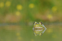 Bullfrog (Rana catesbeiana), adult in lake, Fennessey Ranch, Refugio, Coastal Bend, Texas Coast, USA