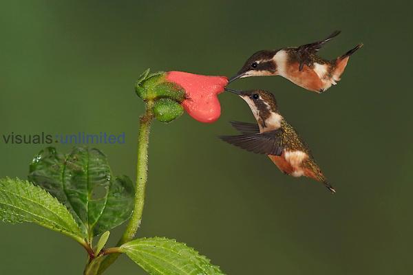 Purple-throated Woodstar Hummingbirds (Calliphlox mitchellii) hovering and nectaring at a red tubular flower, Tandayapa Valley, Ecuador.