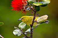 Kauai Amakihi (Hemignathus kauaiensis
