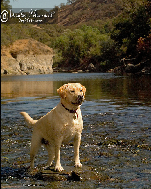 Labrador Retriever<br /> <br /> <br /> Shopping cart has 3 Tabs:<br /> <br /> 1) Rights-Managed downloads for Commercial Use<br /> <br /> 2) Print sizes from wallet to 20x30<br /> <br /> 3) Merchandise items like T-shirts and refrigerator magnets