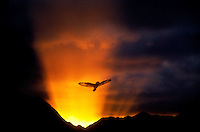 Native Hawaiian Pueo spreading wings flying over Koolau mountains
