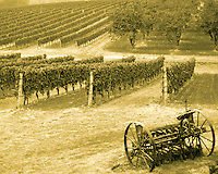Look of an old time vineyard farm with rows of grape vines and farm equipment plow in foreground