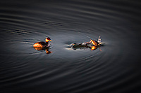 A grebe, likely a Western grebe, floats then dives in this composite of two images taken near sunset along San Francisco Bay.