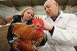 Foto: VidiPhoto<br /> <br /> BARNEVELD - De mooiste, beste en duurste kippen van Nederland worden vrijdag en zaterdag gekeurd in -hoe kan het ook anders- Barneveld. De bekende kleindiertentoonstelling Gallinova staat, zoals gebruikelijk in het Veluwse kippendorp, in het teken van kippenrassen uit de hele wereld. Dit jaar krijgen de keurmeesters hulp van studenten van het agrarische Groenhorstcollege in Barneveld. Het aantal kippenfokkers in Nederland neemt echter drastisch af, volgens voorzitter Jan Vogel van Gallinova. Oorzaak is de toenemende kippen- en hanen intolerantie van de buurt, die steeds vaker bij de politie klaagt over kraaiende hanen en ontsnapte kippen. De kippenkeuring van vrijdag wordt gevolgd door een open dag voor het publiek zaterdag. Foto: Een keurmeester geeft uitleg aan een studente van het Groenhorstcollege.