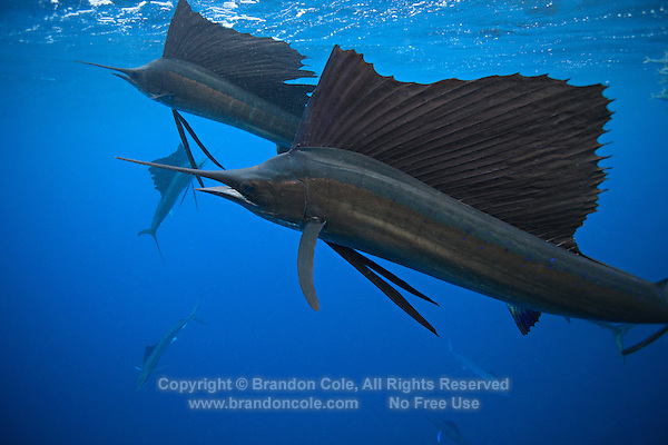 qh0477-D. Atlantic Sailfish (Istiophorus albicans) feeding on sardines. Some consider this the same species as the Indo-Pacific Sailfish (I. platypterus). Mexico, Gulf of Mexico..Photo Copyright © Brandon Cole. All rights reserved worldwide.  www.brandoncole.com..This photo is NOT free. It is NOT in the public domain. This photo is a Copyrighted Work, registered with the US Copyright Office. .Rights to reproduction of photograph granted only upon payment in full of agreed upon licensing fee. Any use of this photo prior to such payment is an infringement of copyright and punishable by fines up to  $150,000 USD...Brandon Cole.MARINE PHOTOGRAPHY.http://www.brandoncole.com.email: brandoncole@msn.com.4917 N. Boeing Rd..Spokane Valley, WA  99206  USA.tel: 509-535-3489