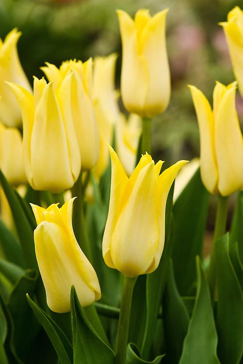 Tulipa 'Moonlight Girl' (Lily-flowered Group).