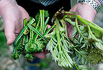 Author and naturalist C.W. Nicol shows some of the native mountain vegetables that have returned to the C.W. Nicol Afan Woodland Trust, native woodland that he began buying up 25 years ago, near his home in Kurohime, Nagano Prefecture, Japan on 10 May 2010..Photographer: Robert Gilhooly