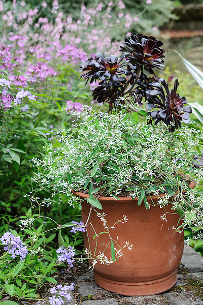 Euphorbia 'Diamond Frost'