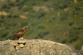 Golden Eagle (Aquila chrysaetos) with prey, Castilla y Leon, Spain