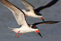 Two Black Skimmers (Rynchops niger) fly side by side