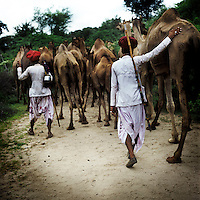 Raika men herd their camels into the Kumbhalgarh Wildlife Sanctuary to graze. The Raika are an ancestral caste of camel breeders in Rajasthan. Due to the increased cost of feeding and shelter, more and more Raika are being forced to sell off their camels, often for camel meat, which was once considered taboo.