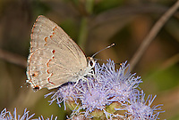 345300002 a wild red-crescent scrub hairstreak butterfly strymon rufofusca at  the naba site in mission hidalgo county lower rio grande valley texas united states