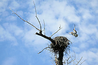 Osprey landing on nest in Columbia River Gorge National Scenic Area, Oregon