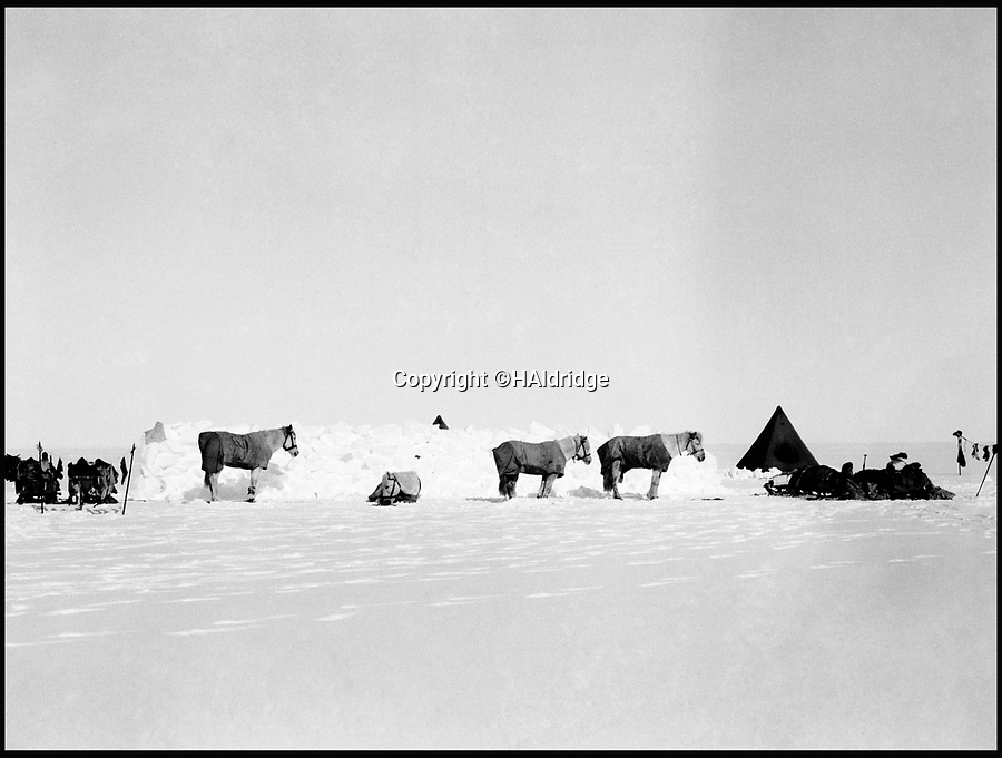 BNPS.co.uk (01202 558833)<br /> Pic: HAldridge/BNPS<br /> <br /> The expedition ponies sheltering behind a ice berm built by Scott's men to protect them from the wind.<br /> <br /> Poignant unseen photographs taken by Lt Bowers of Scott's ill-fated 1912 Antarctic expedition have come to light. <br /> <br /> Bowers perished with Scott on their return from the South Pole, but these photographs taken by him were returned to Britain with expedition photographer Herbert Ponting.<br /> <br /> They show the team with their dogs and ponies on the Ross Ice Shelf preparing for their doomed departure for the Pole.