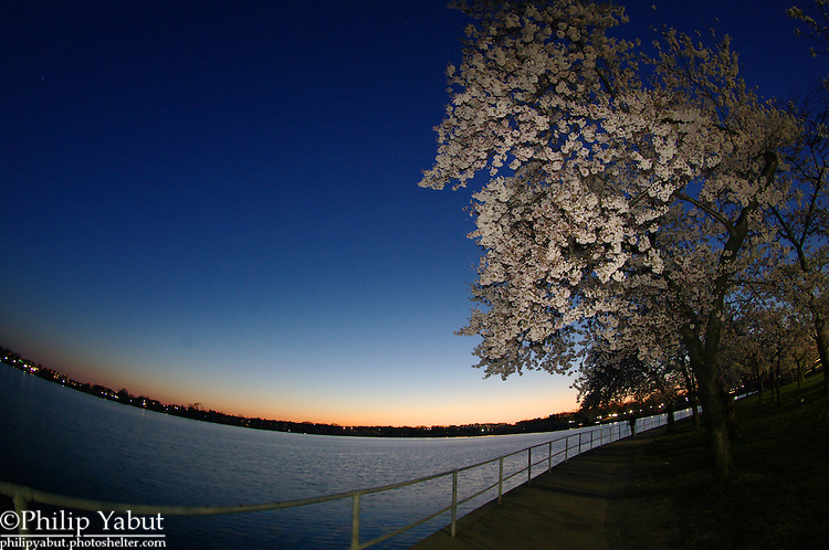 Early evening twilight at the Tidal Basin is more colorful during the Cherry Blossom Festival.
