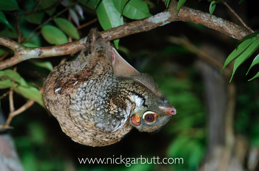Sunda Colugo  or Sunda Flying Lemur (Cynocephalus [Galeopterus] variegatus) in suspensory resting posture at night. Bako National Park, Sarawak, Borneo.