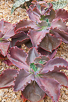 Succulent plant Echeveria Mauna Loa, fleshy red purple leaves in rosettes