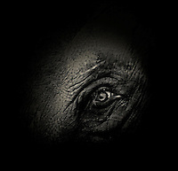 BNPS.co.uk (01202 558833)<br /> Pic: AlexTeuscher/BNPS<br /> <br /> ****Please use full byline****<br /> <br /> Asian elephant.<br /> <br /> These zoo animals take on an altogether more sinister look after posing for a set of moody black and white portraits.<br /> <br /> Alex Teuscher has brought out the dark side in a range of exotic creatures including tigers, rhinos and elephants with his artistic project which took two years to complete.<br /> <br /> More than 200 photographs were taken to get the perfect set, which was snapped at zoos in Singapore and Switzerland.<br /> <br /> Alex's subjects also include a baboon, a grey crown crane, a green tree python and a Malay fish owl.<br /> <br /> Amazingly Alex, 31, from Geneva, Switzerland, only got into photography three years ago when his father gave him an old SLR camera.