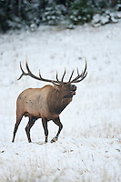 Trophy bull elk during the autumn rut in Wyoming