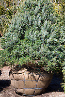 Spruce tree, balled and burlapped, live tree. Picea ormorika in a rootball Balled and burlapped tree evergreen