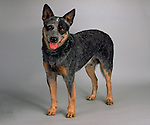 Australian Cattledog on seamless<br />