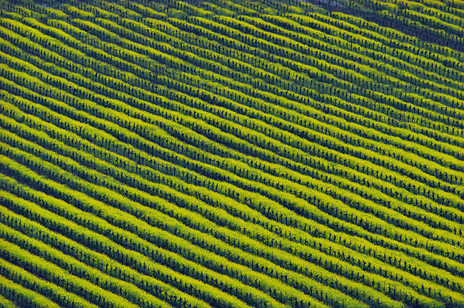 Mustard grows between vines south of Yountville