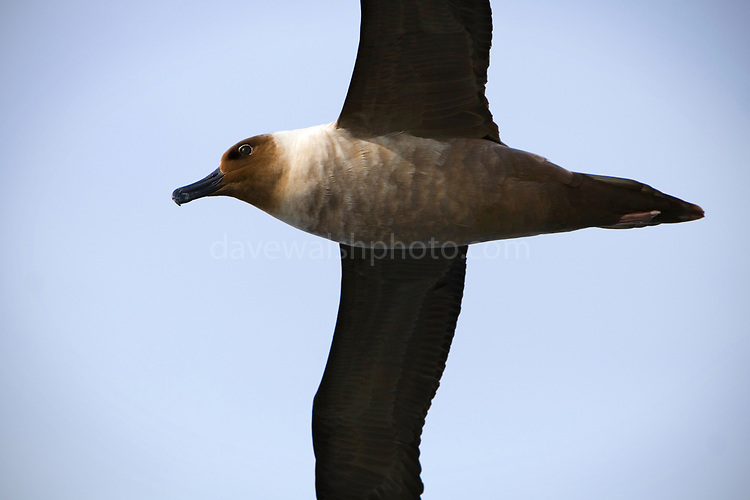 Phoebetria palpebrata - from a whole different family of albatross that includes the dark-mantled sooty.They're the smallest albatrosses, with wingspans of 200cm, and can dive down to 12m!
