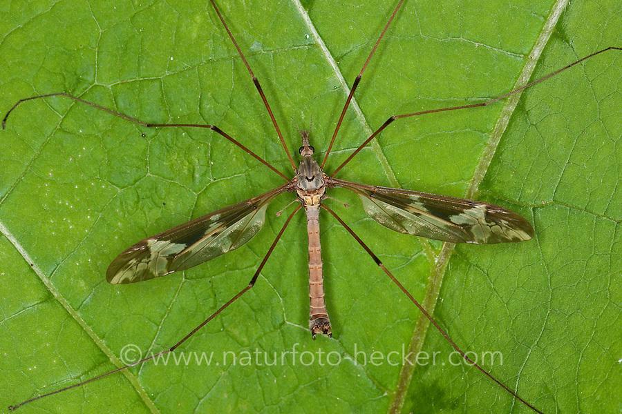 Riesen-Schnake, Riesenschnake, Schnake, Männchen, Tipula maxima, giant cranefly, crane fly, crane-fly, Schnaken, Tipulidae, crane flies, crane-flies, daddy-long-legs
