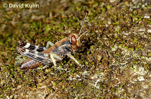 "0110-0912  Pine Tree Spur Throat Grasshopper Nymph, Melanoplus punctulatus ""Virginia""  © David Kuhn/Dwight Kuhn Photography"