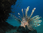 Kenting, Taiwan -- A common lionfish, Pterois volitans, prowling the reef.<br />