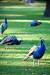National Geographic Sea Lion's trip to the Eastern Columbia River Gorge. Peacocks populate the grounds at the Maryhill Museum.