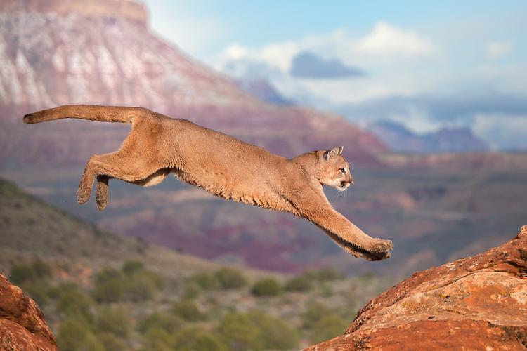 Cougar jumping the red rocks in Utah - CA