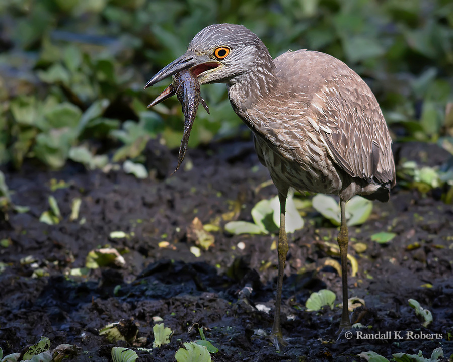 Juvenile Green Heron eats fish, Audubon Corkscrew Swamp Sanctuary, Florida