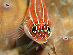 Kenting, Taiwan -- Striped triplefin on a coral.<br />