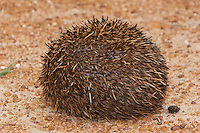 South African Hedgehog (Atelerix frontalis) in its coiled protective posture, South Africa
