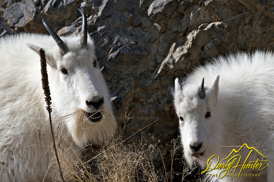 Alpine; Billy; Jackson Hole; kids; Mountain Goats; Nanny; Snake river Range; Wyoming