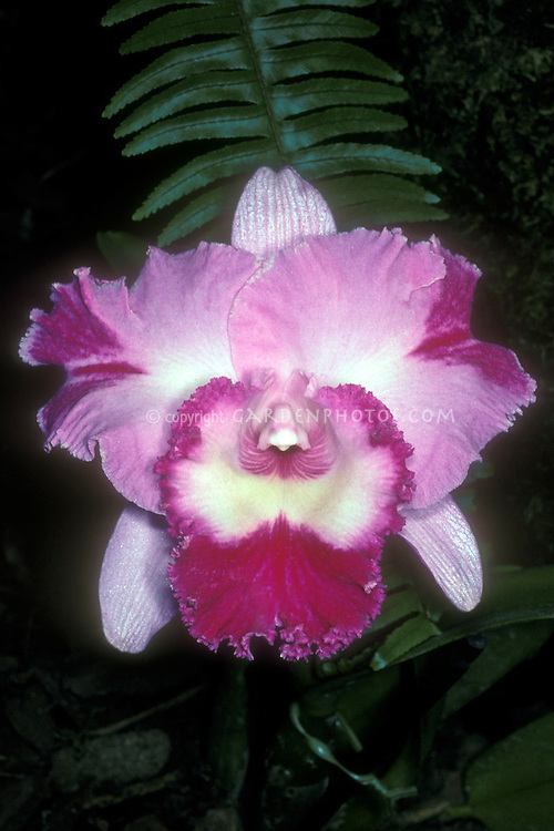 Orchid Cattleya splash petal peloria in pink, lavender, white flower