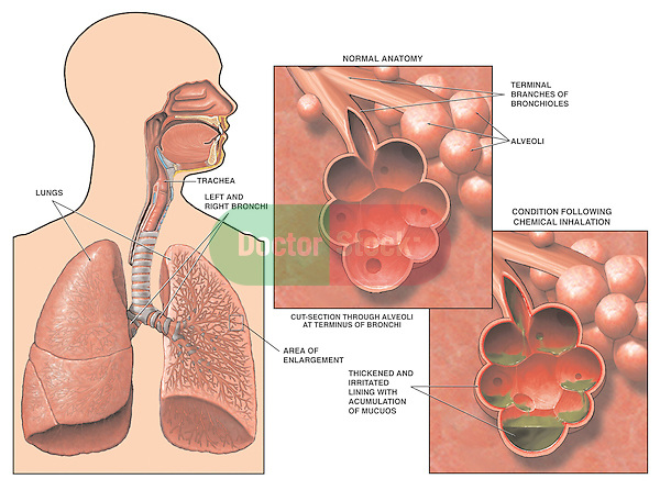 Of system pictures the respiratory