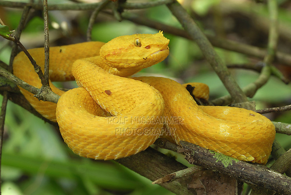 .Eyelash Pit Viper (Bothriechis schlegelii), adult, yellow coloration, Cahuita National Park, Costa Rica