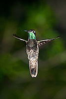 Magnificent Hummingbird in flight