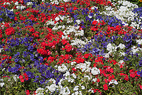 Phlox drummondii '21st Century Red', '21st Century White', '21st Century Blue' mix of patriotic colors red white blue American flag or British flag colours