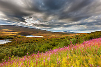 Fireweed and dramatic skies over the tundra along the Denali Highway near McClaren pass, interior, Alaska.