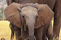 Young African Elephant (Loxodonta africana) calf standing by mom.  Africa.